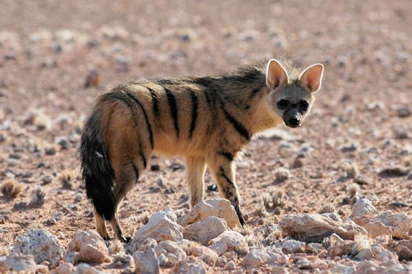 Aardwolf animal