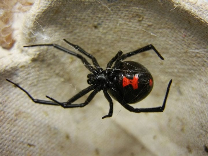 Black widow spider deadliest animals