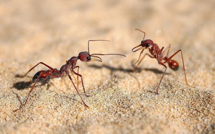 Bull dog ants deadliest animals