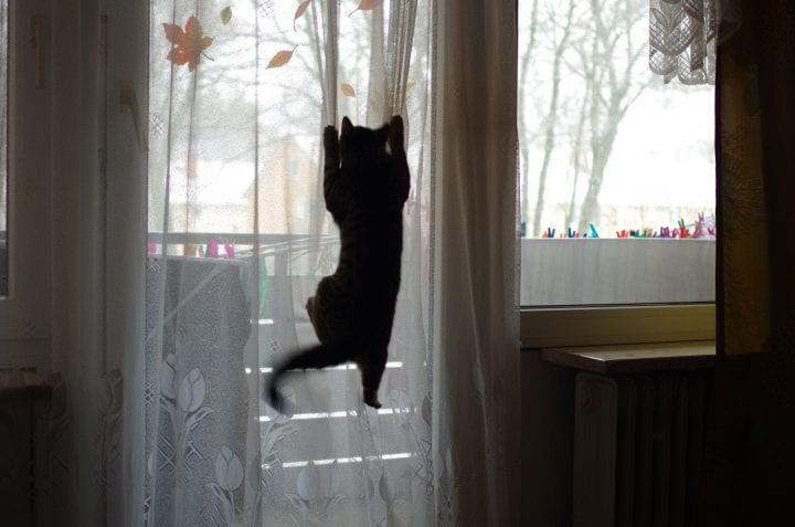 Cat climbing curtains