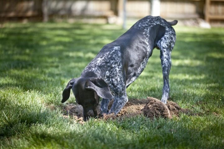 Dog digging in ground