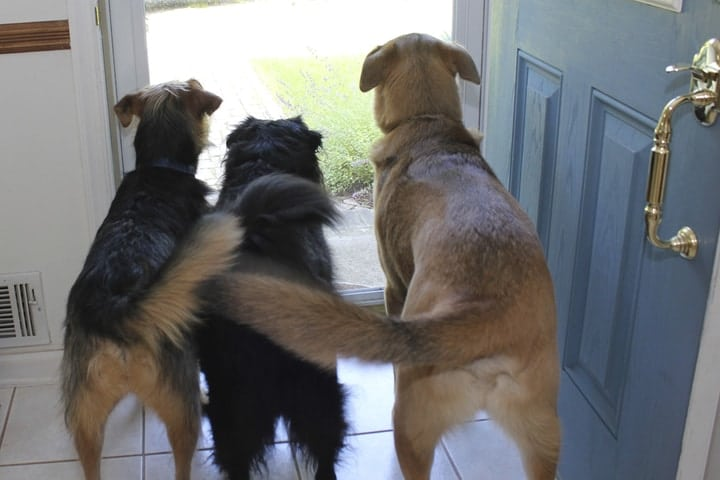 Dogs wagging tails