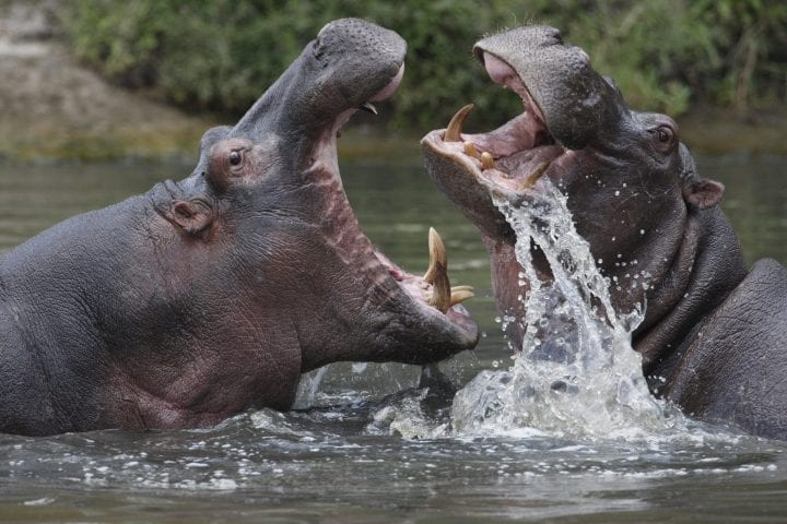 Hippopotamuses deadliest animals