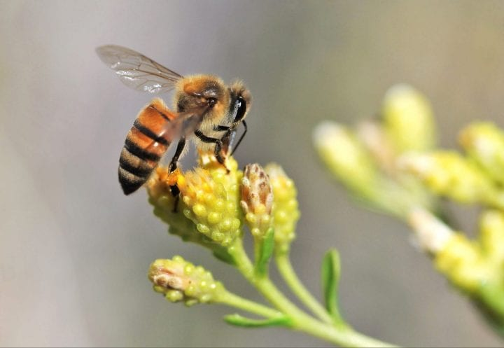 Honey bee deadliest animals