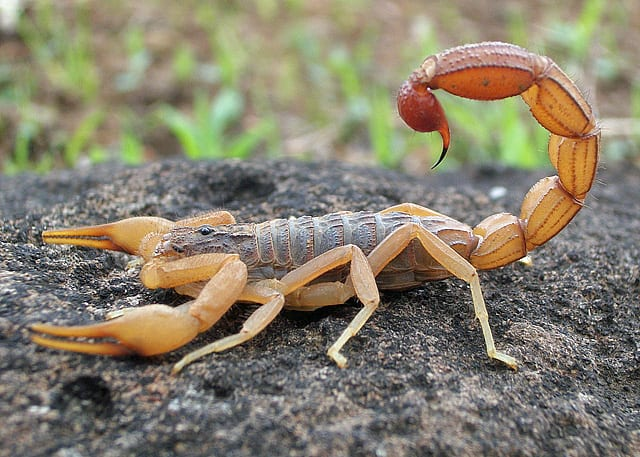 Scorpion deadliest animals