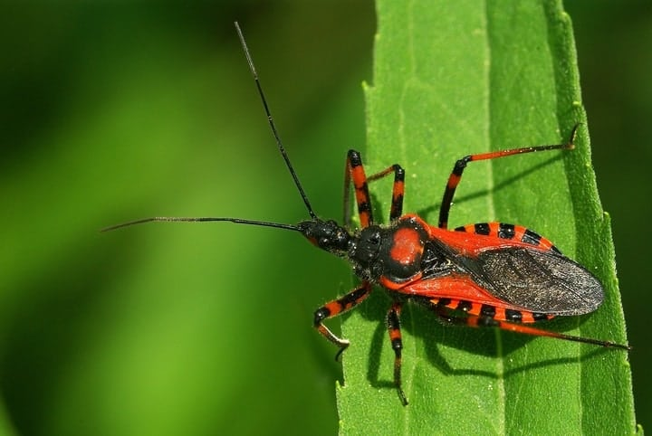 Kissing assassin bug