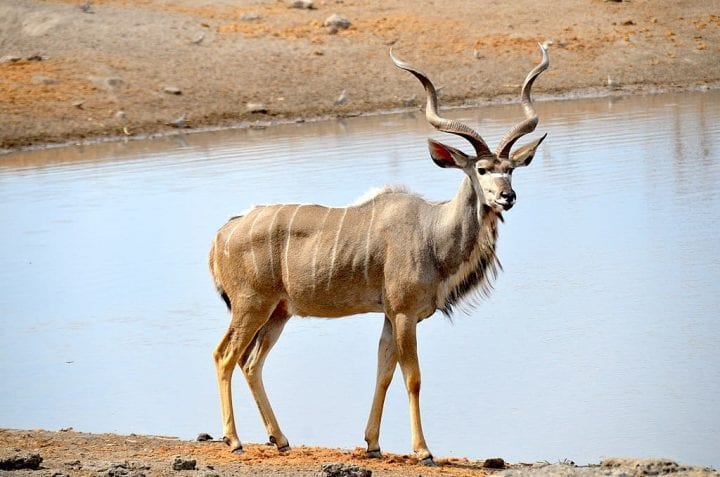 Kudu deadliest animals