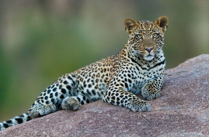 Leopard deadliest animals