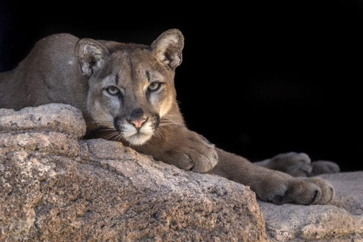 Mountain lion cougar deadly animal