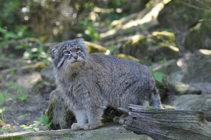 Pallas's cat wild obscure animal