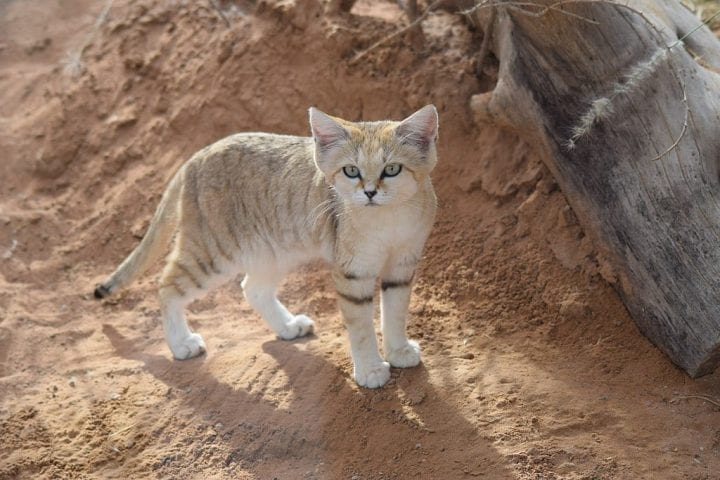 Sand cat obscure animal