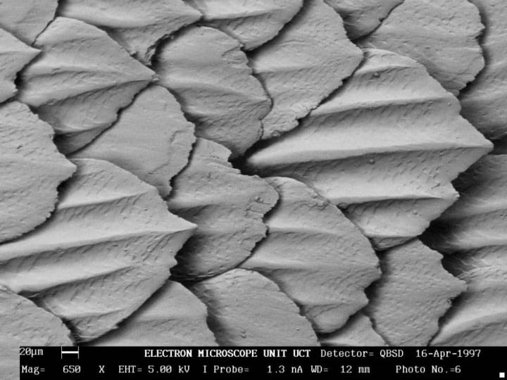 Shark skin under microscope