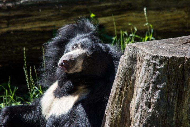 Sloth bear deadliest animals