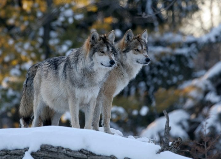 Wolves most dangerous animals