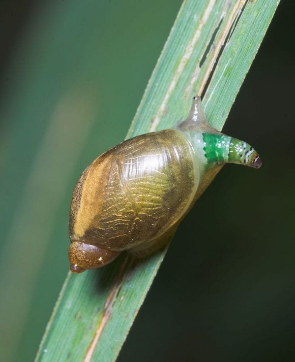 Green-banded broodsac and snail parasite mind control
