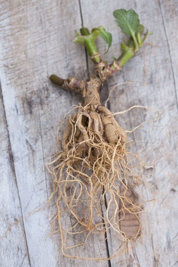 Roots on plant