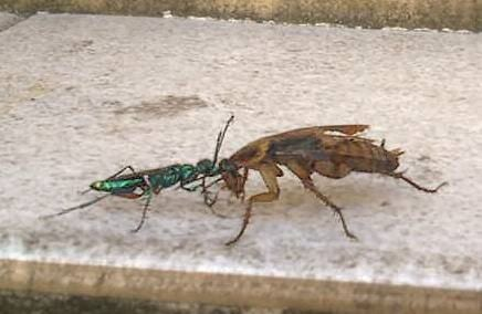 Parasitoid wasp cockroach zombie