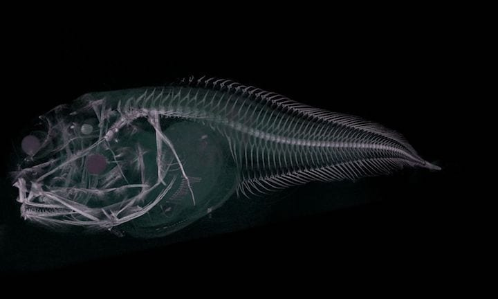 This Melting Fish Was Just Discovered In The Deep Sea