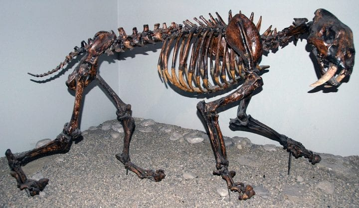 a sabertooth tiger assembled in museum
