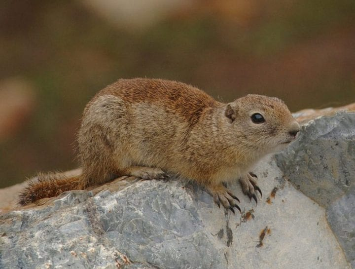 a gopher sits atop a rock