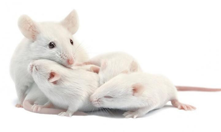 Healthy baby mice born from two mothers