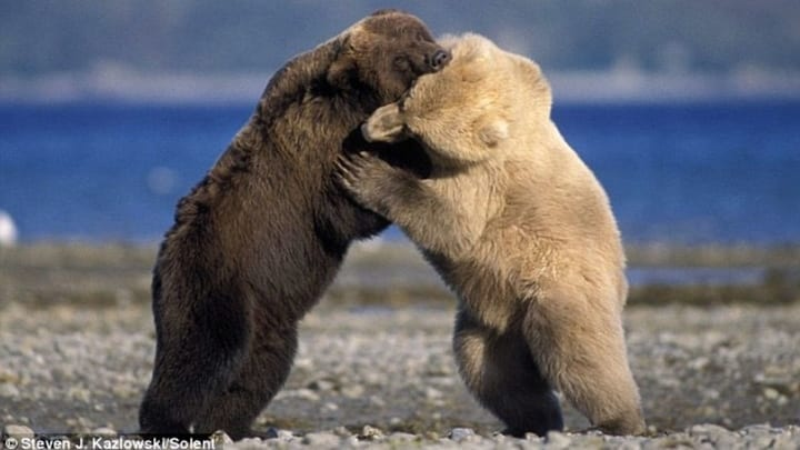 Fighting polar and grizzly bears