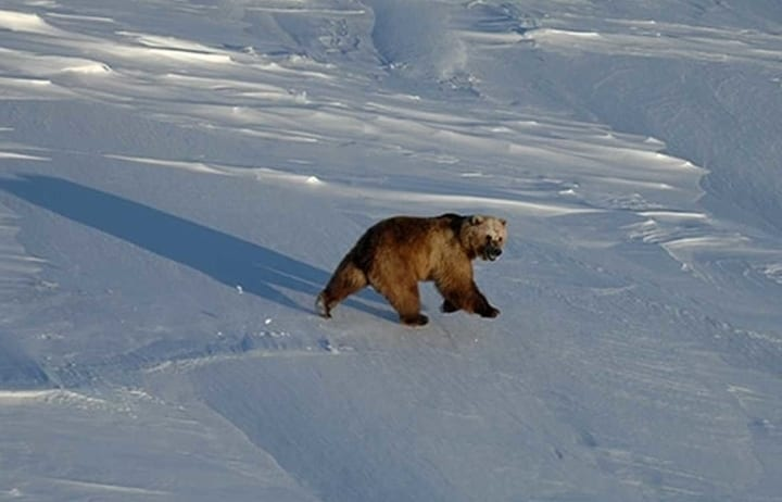 Grizzly in arctic