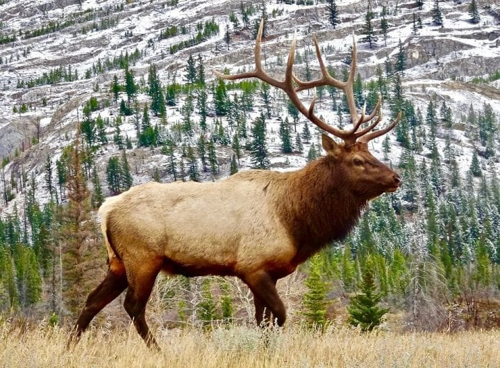 a elk walking through the woods