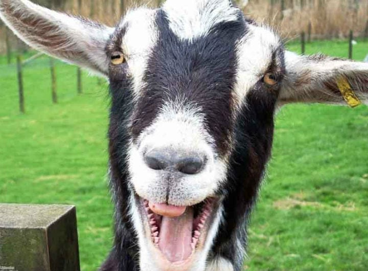 Goats are drawn to happy human faces, study finds