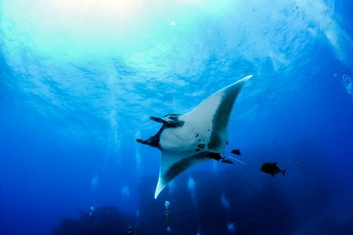 Picture shows a Manta Ray at Islas Revillagigedos, Mexico