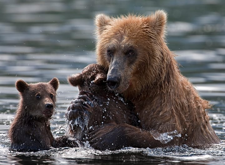 Mother bear leaves her cubs to drown before fishermen intervene
