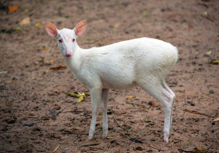 Albino barking deer animal