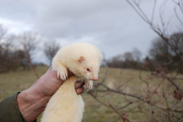 Albino ferret animal