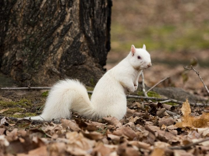 Albino squirrel olney illinois