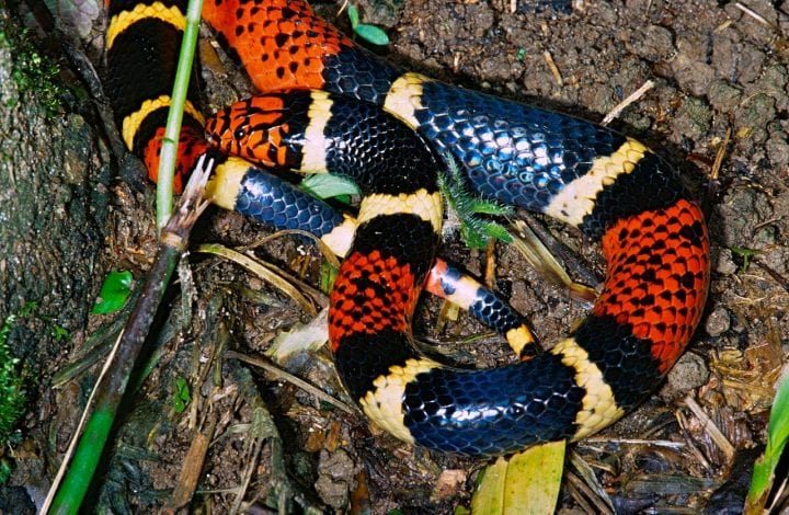 Coral snake warning coloration