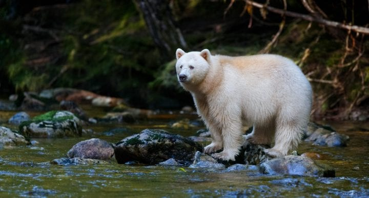 Spirit bear white rainforest