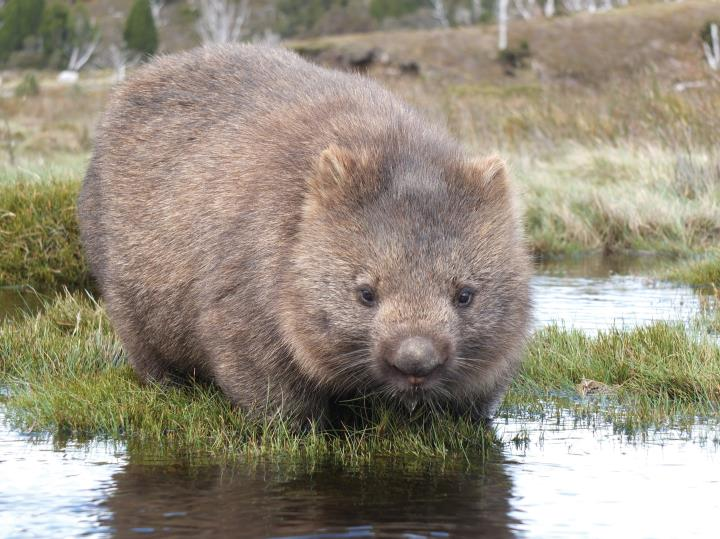 Scientists finally discovered how wombats poop cubes