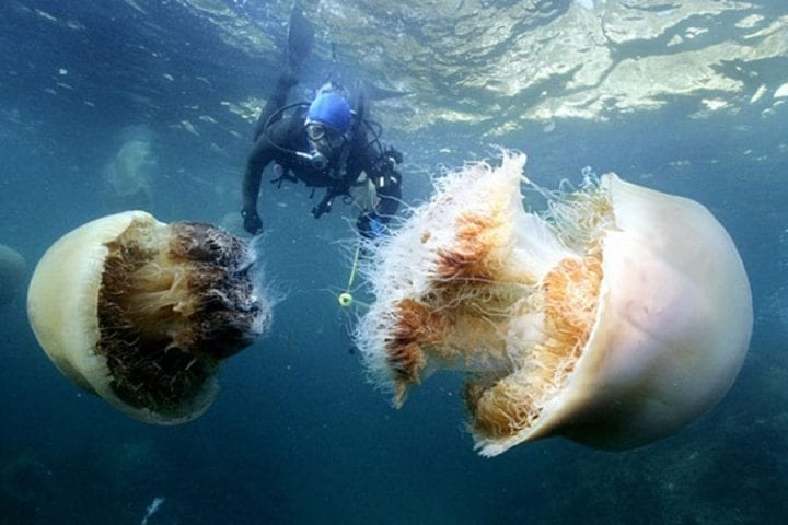 man swims with two jellyfish