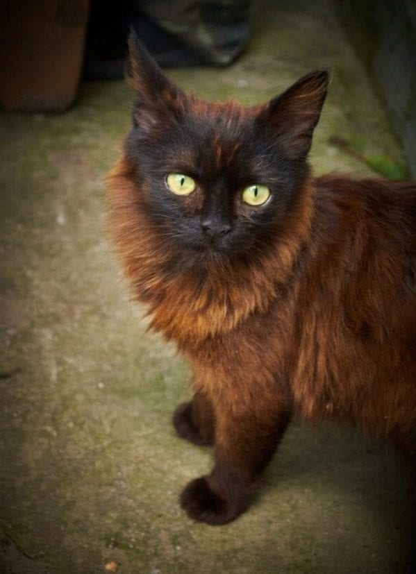 Black and brown cat markings color fur
