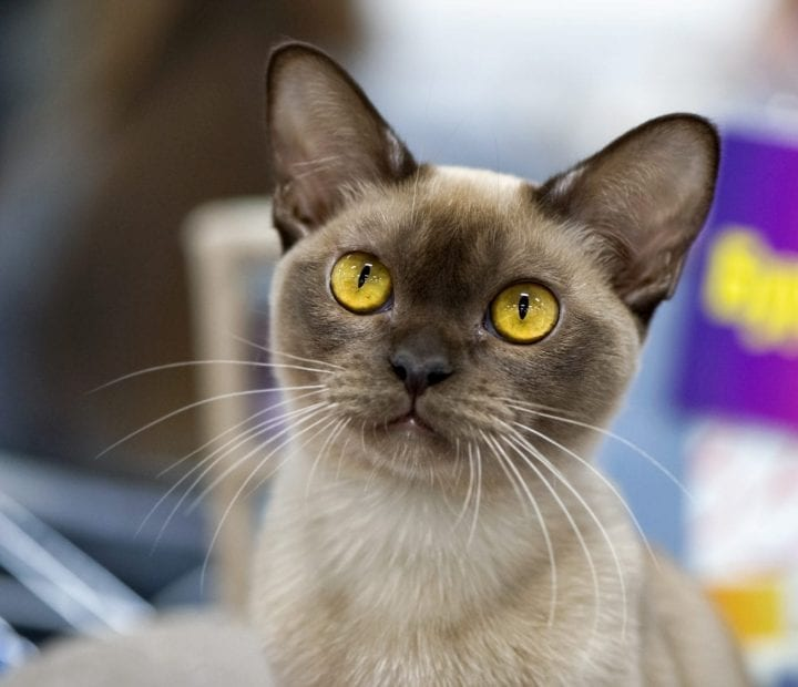 Burmese cat unique