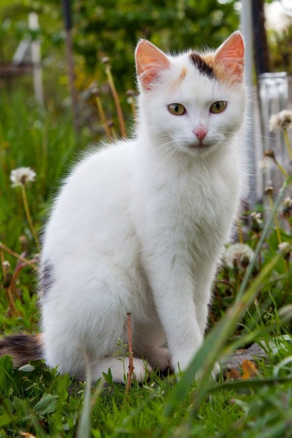 White cat calico markings