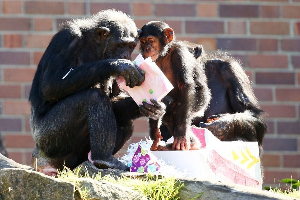 Chimpanzee family zoo christmas