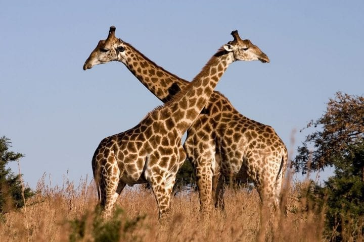 two giraffes standing neck to neck