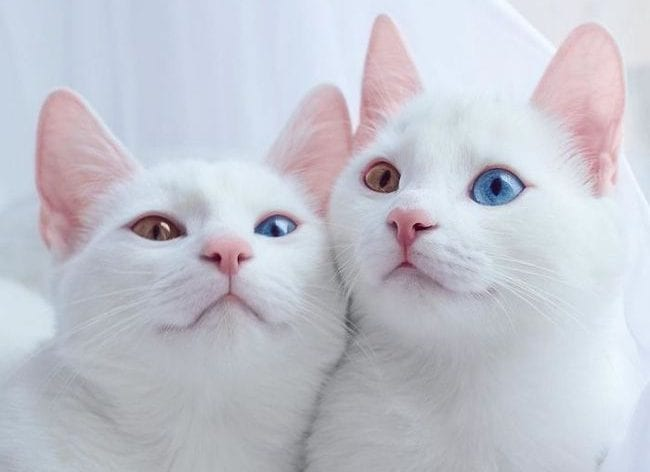 Khao manee cat breeds beautiful odd eyes unique