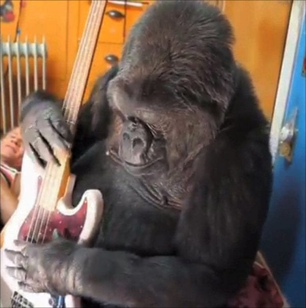 Koko Gorilla sign language
