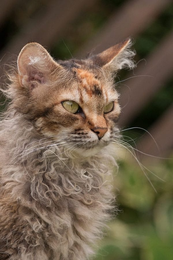 LaPerm cat breed unique