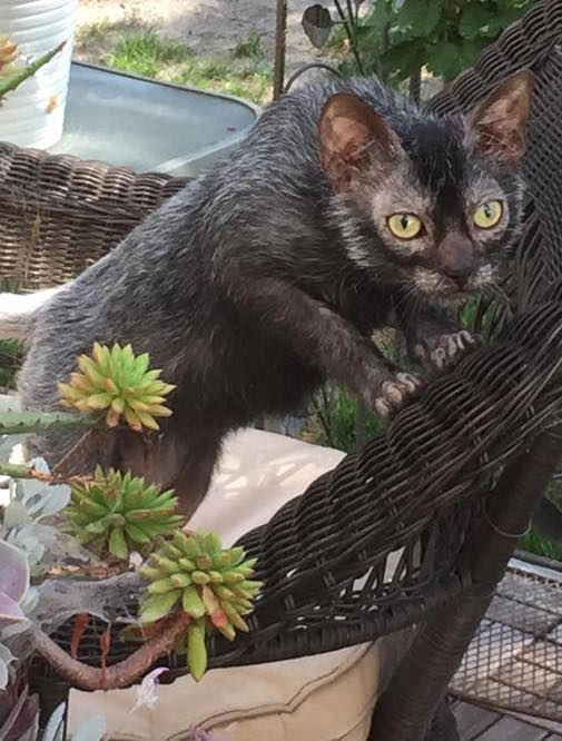 Lykoi werewolf cat breed unusual
