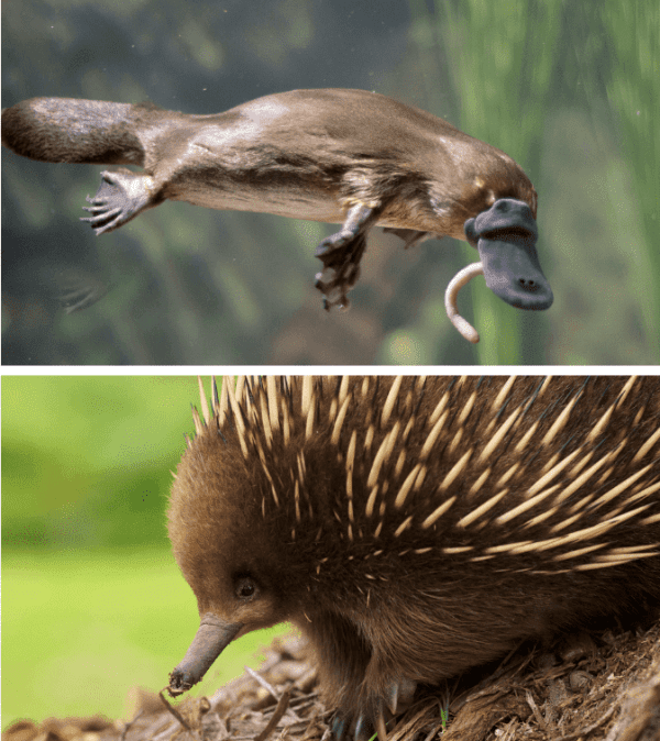 Echidna and platypus