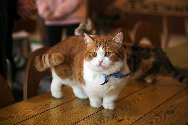 Munchkin cat breed unique