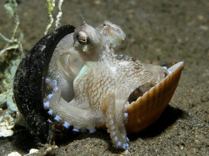 Octopus using shell as shelter